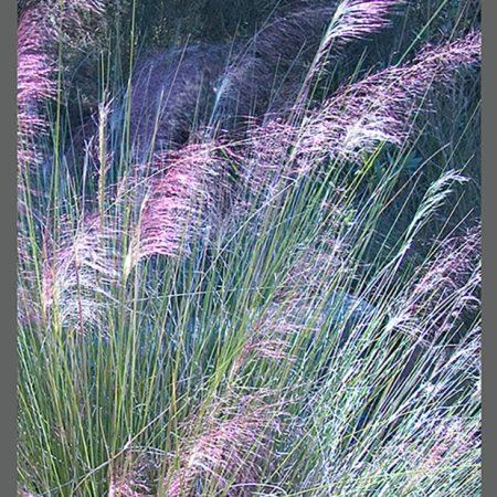 CAT 0018-03 Sweet Grass www
