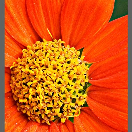 CAT 0261 Mexican Sunflower-www