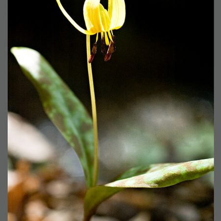 CAT 4333-05 Trout Lily-www