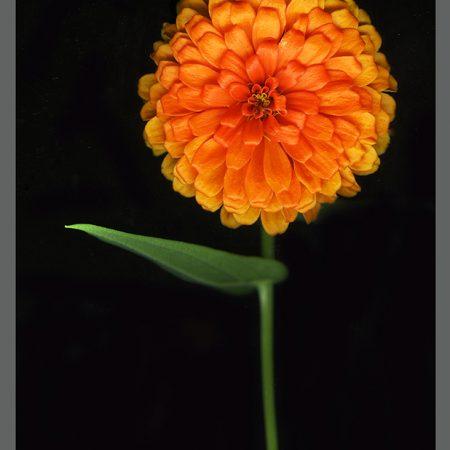 CAT Orange Zinnia www